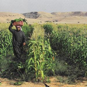 Culture du maïs en Arabie Saoudite